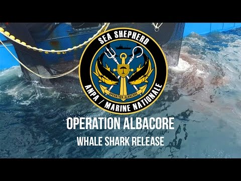 Operation Albacore: Whale Shark Release