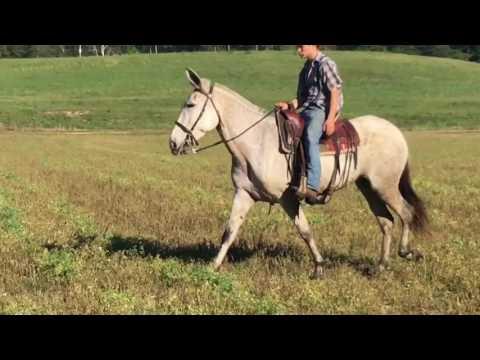 Percheron cross draft mule for sale