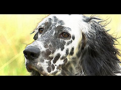 ENGLISH SETTER Brief History English Setter facts Lawerack Setter dog Llewellin Setter origins