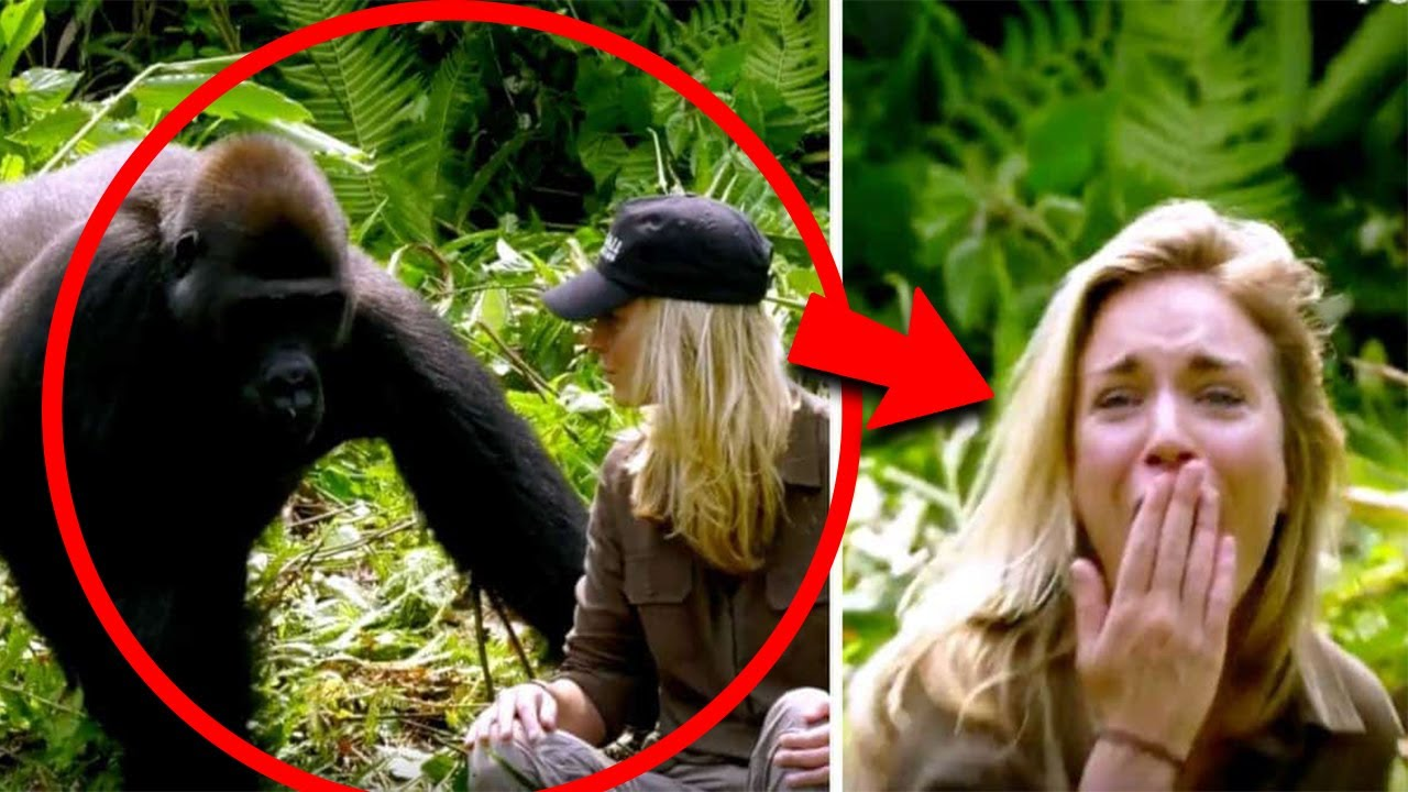 Fetița a crescut printre gorile, Iar peste 12 ani ei s-au revăzut,reactia gorilelor este incredibilă