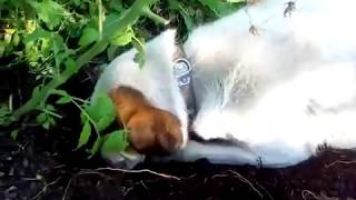 Собака копает огород!   Собака копака!