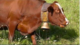 Vache dans les Alpage avec les Cloches France