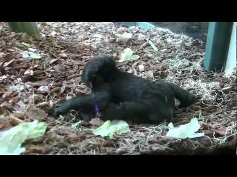 Baby Gorillas enjoy their new enclosure at Lincoln Park Zoo