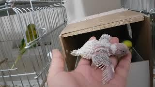 Muhabbet Kuşu Üretiminde İkinci Kuluçkaya Yatan Kuşlarımız