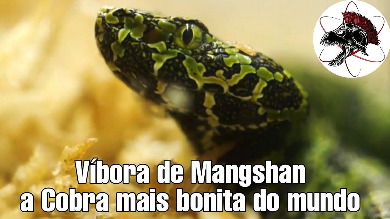 Cobra mais bonita do mundo Víbora de Mangshan | Biólogo Henrique o Biólogo das Cobras