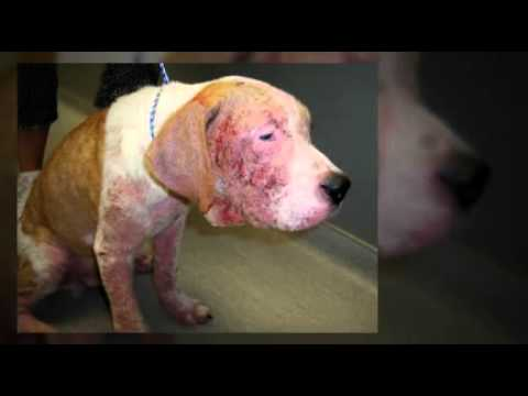 Natural Treatment For Sarcoptic Mange In Dogs