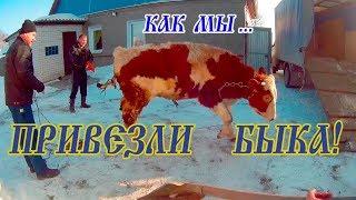 покупка БЫКА! Бык производитель для наших коров.