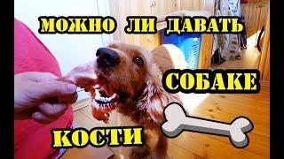 Можно ли собакам давать кости? Спаниель Сёма знает!