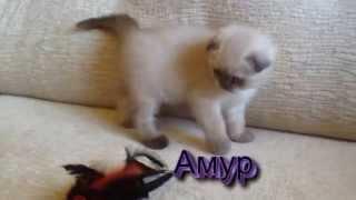 шотландские котята в Беларуси питомник шотландских кошек Lanssary