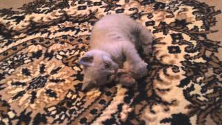 Британский котенок лилового окраса