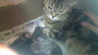 Кошка тиффани и котята