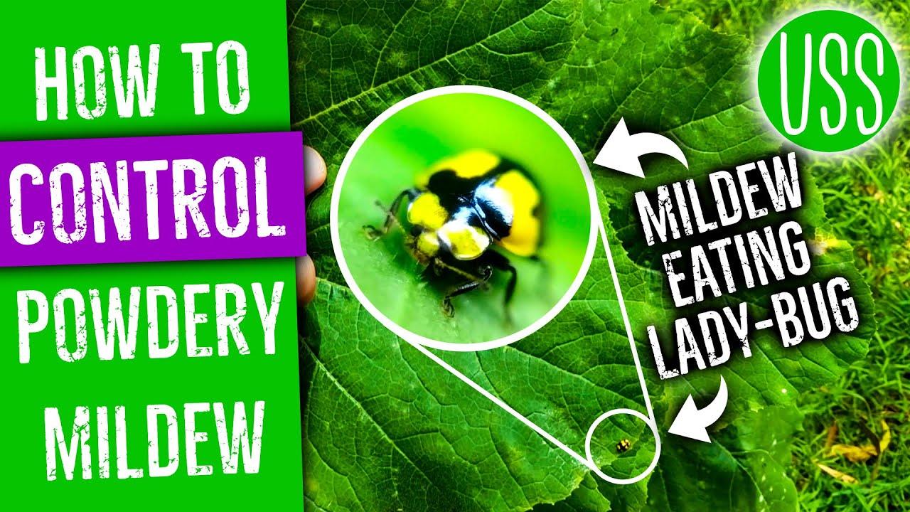 How To Control Powdery Mildew With Milk