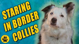 Why Do Border Collies Stare