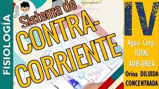 SISTEMA DE CONTRACORRIENTE, CONCENTRACION DE LA ORINA, ADH (Funciones)