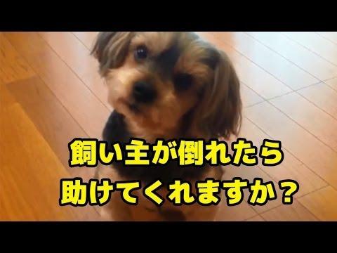 【ドッキリ】飼い主が突然倒れたら愛犬はどんな反応をするか検証