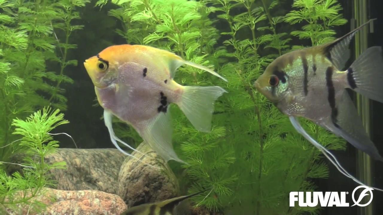 video Angelfish (Ornamental Fish for Aquarium)