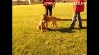The dogs are taking important lessons at the age of 5 months. Needl...