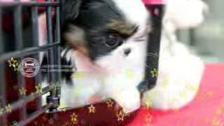 Teacup Puppy For Sale! Unique Tri Color Shih Tzu :)