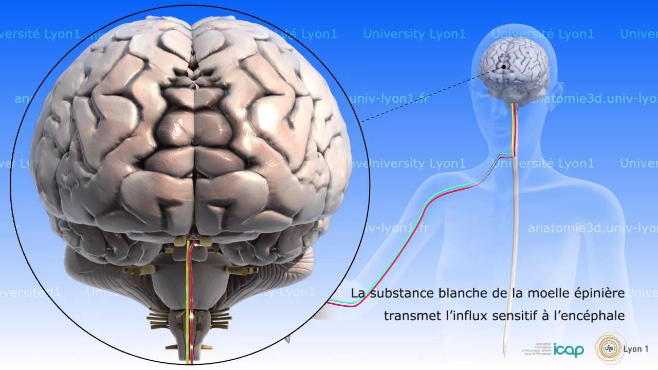 Neuro-anatomie : anatomie et physiologie de la moelle épinière - YouTube