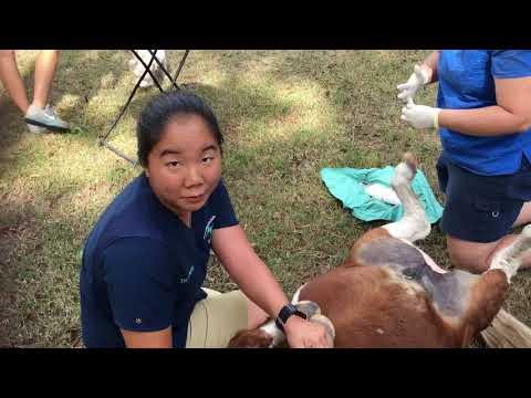 Mini horse castration