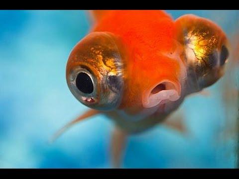 La amenaza del pez goldfish youtube for Enfermedades de peces goldfish