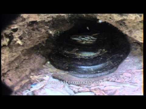 Python with it's eggs - Kaziranga National Park