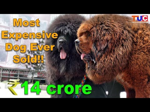 Most Expensive Dog Ever Sold in Hindi : The Ultimate Channel