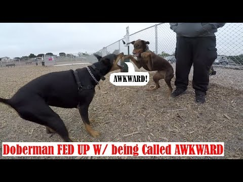 Youtube Famous Awkward Doberman Fights Back, Getting Spotted