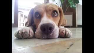 Crescimento Beagle (beagle Growing Up)