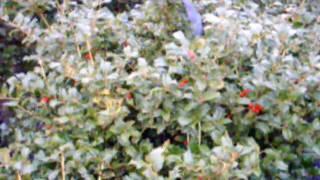 Movie Autumn Brilliance Amelanchier arborea and winterberry hollies Pa