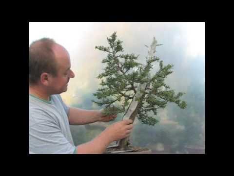 Italian Cypress Bonsai Styling Demonstration Youtube