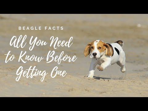 Facts About Beagle Dogs 101-All You Need to Know