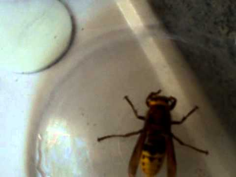 Queen Wasp Compared To Normal Wasp