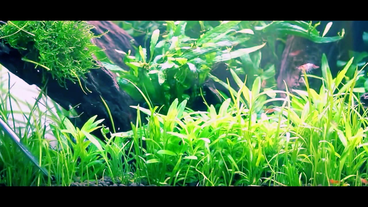 Awesome.. Planting Lilaeopsis, Sagitta, Trident AQUASCAPE ...