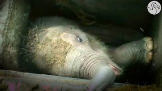 People Rush To Save Baby Elephant Who Fell Into Storm Drain