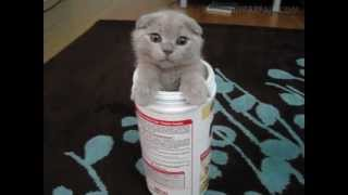 Scottish Fold kitten becomes the new face for Protein Powder Thumbnail