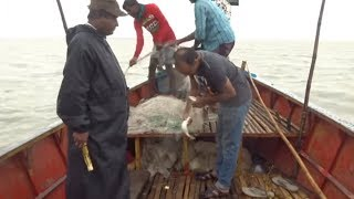 Live hilsha fish catching (ilish)in Bangladesh