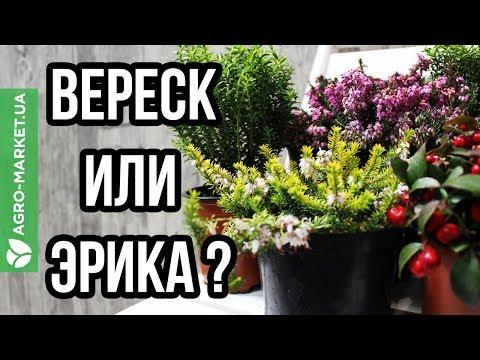 ТОП-основных различий между вереском и эрикой | Agro-Market.ua