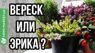 видео Декоративный кустарник : Саженцы Мирта