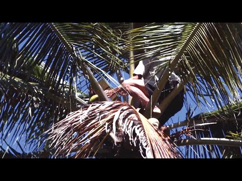Discover the Making of Indonesian Coconut Blossom Sugar (Video)
