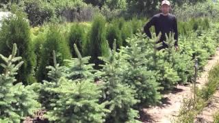 Ель колючая голубая. Посадочный материал собственного производства.(Добрый день! Мы занимаемся выращиванием и продажей растений для ландшафтного дизайна. В ассортименте собст..., 2014-07-02T15:30:34.000Z)