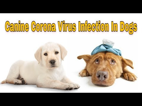 Everything You Need To Know About Coronavirus In Dogs    Happy Pet