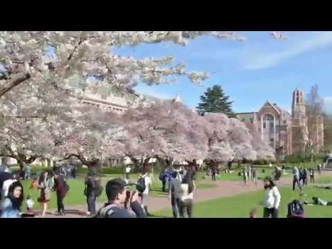 Happy spring from the UW Foster School of Business - cherry tree time lapse