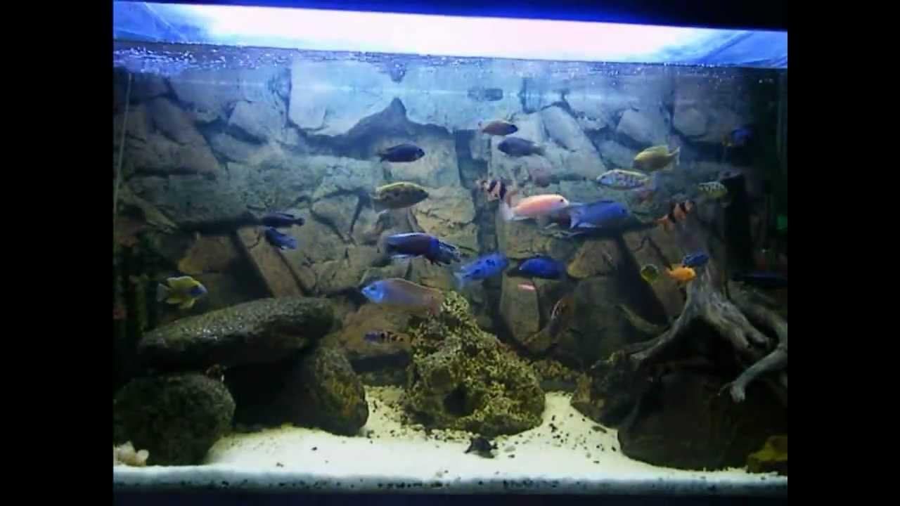 envirobro 39 s malawi cichlid aquarium 150 gallons 600 liters youtube. Black Bedroom Furniture Sets. Home Design Ideas