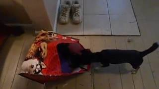 Puppy finds kitten in a bag (cute & funny)