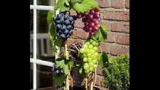 Cara Menanam Anggur Dalam Pot Buah Lebat Manis