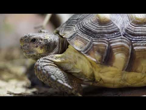 Aquarium Scientists Produce New Genetic Map of Gopher Tortoises