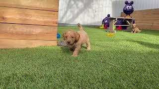 Chloe's puppies 6 weeks old
