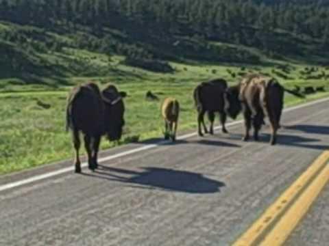 Buffalo at Custer State Park in South Dakota