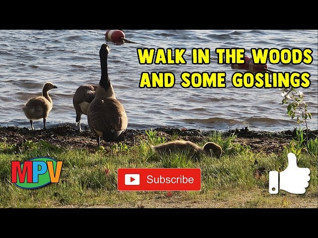 Walk in the Woods and Some Goslings (6.4.19) #1258
